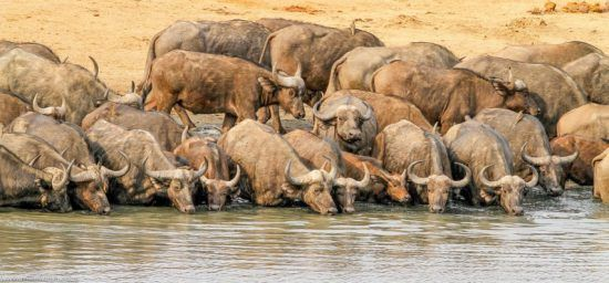 Manada de búfalos descansando a beber