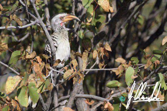 Hornbill in Namibia