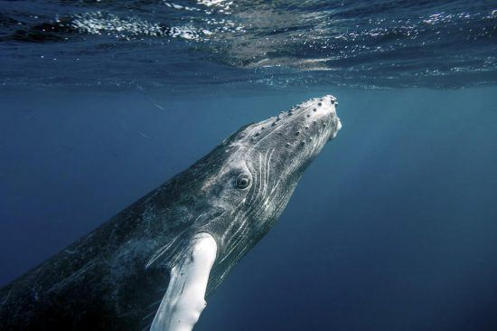 Humpback whale under the sea