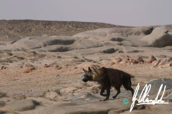 Long haired brown hyena in Namibia