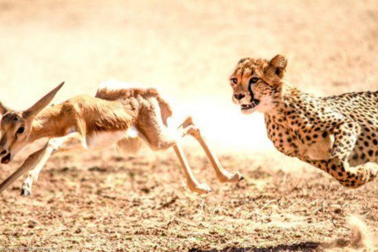 Gepard jagt Antilope