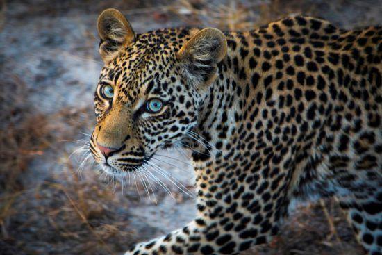 Leopard mit blauen Augen