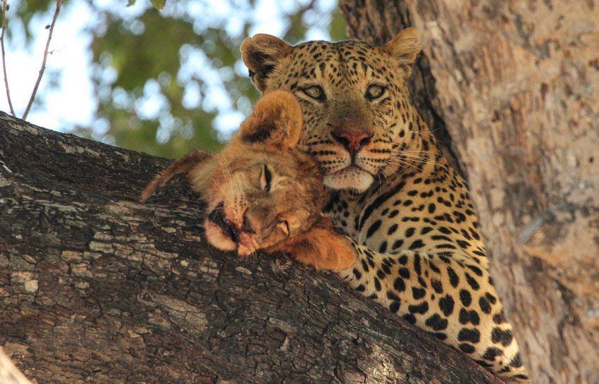 Leopard mit Löwenbaby