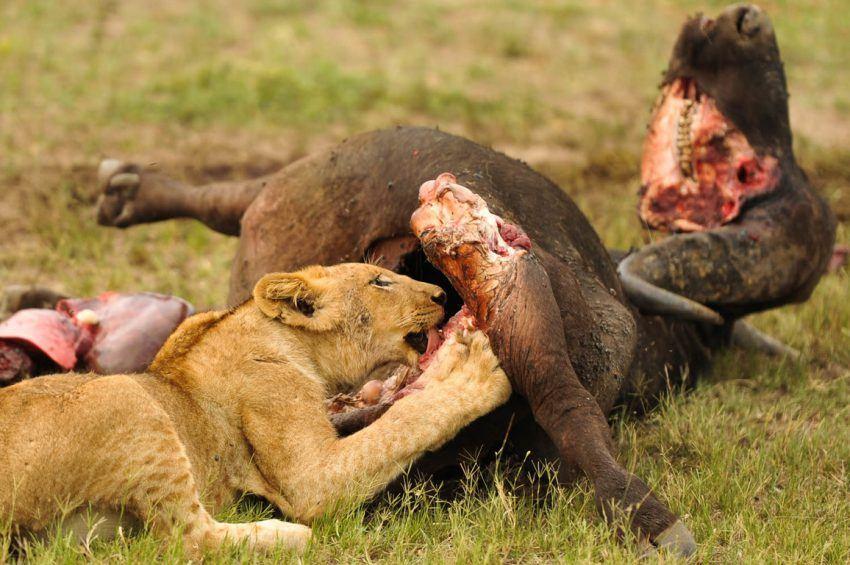 Löwe mit Büffel