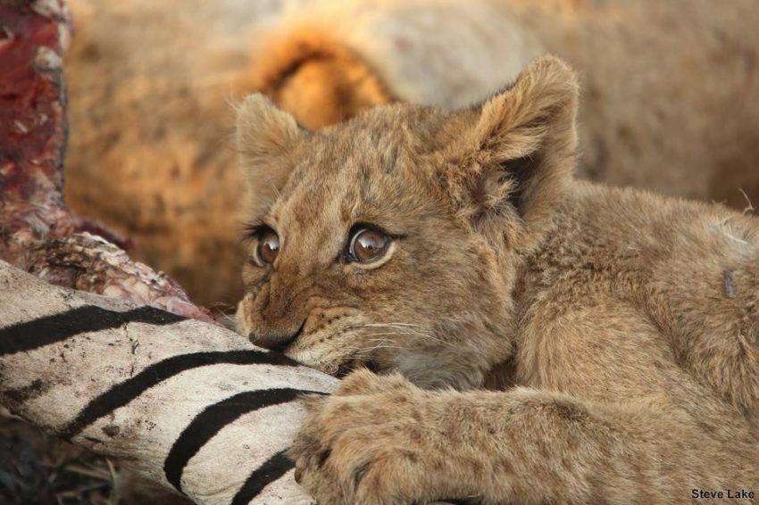 Löwenbaby mit Beute