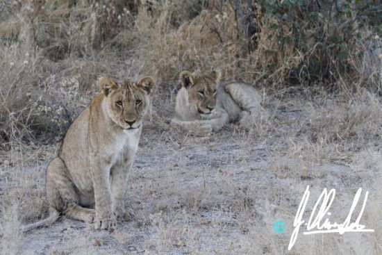 Lion cubs in Namibia