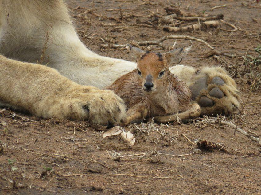 Gazellenbaby in den Pranken des Löwen