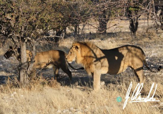 Lion pair stalking in Namibia