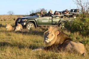 Safari en Kariega rodeado de leones