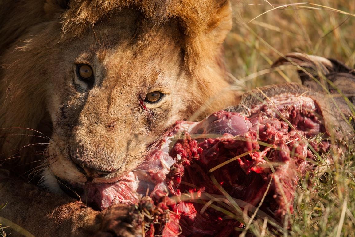 Löwe mit Beute