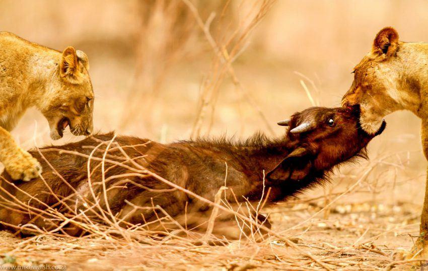 Löwen attackieren Büffeljunges