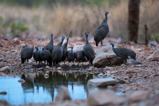 Aves se refrescam em poça d'água no Little Ongava Camp