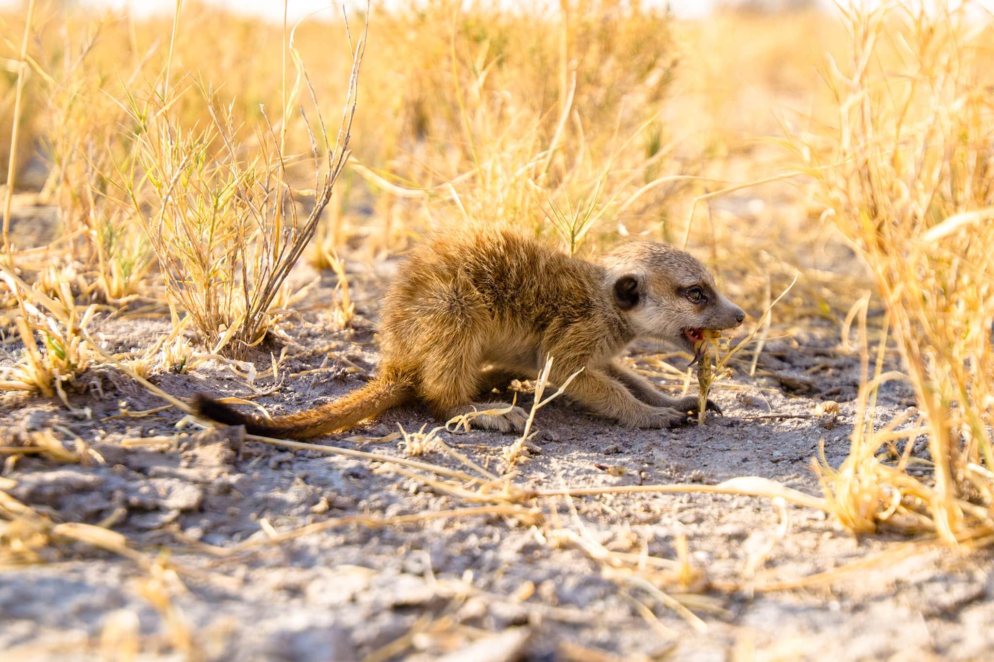 meerkat eating a scorpion in Jack's Camp Botswana