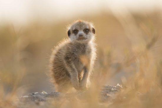 baby meerkat jacks camp botswana
