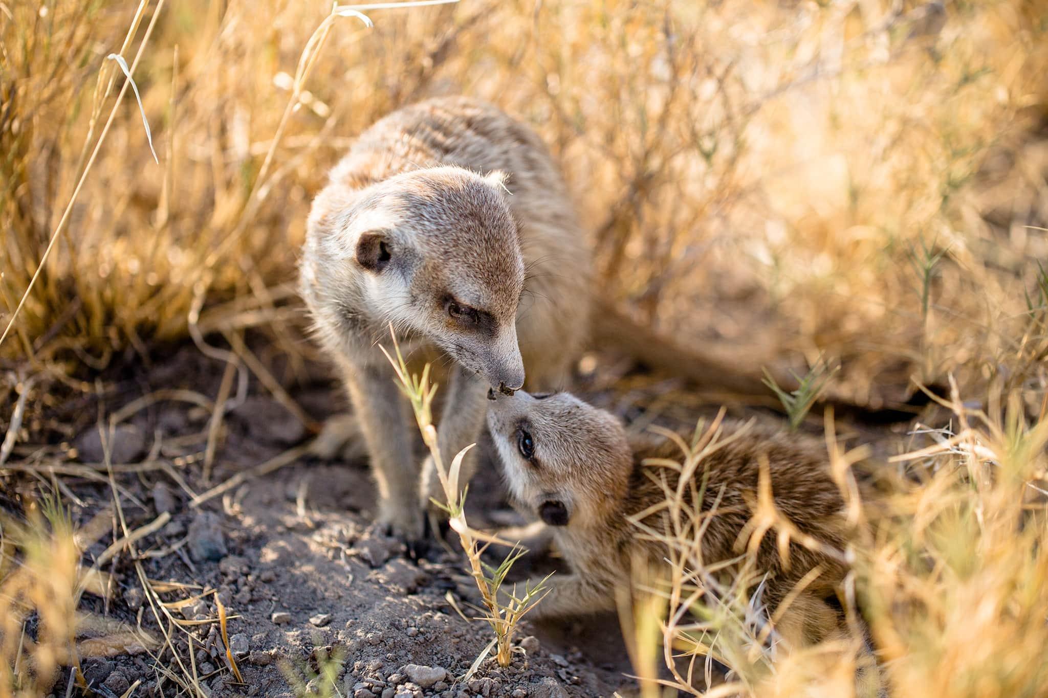 meerkats in Jack's Camp Botswana