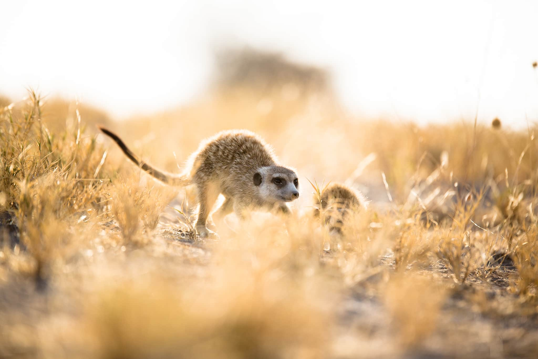 meerkat sneaking Jack's Camp Botswana