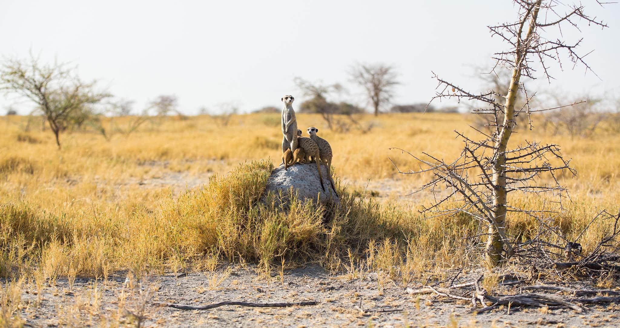meerkat on top of a rock in Jack's Camp Botswana