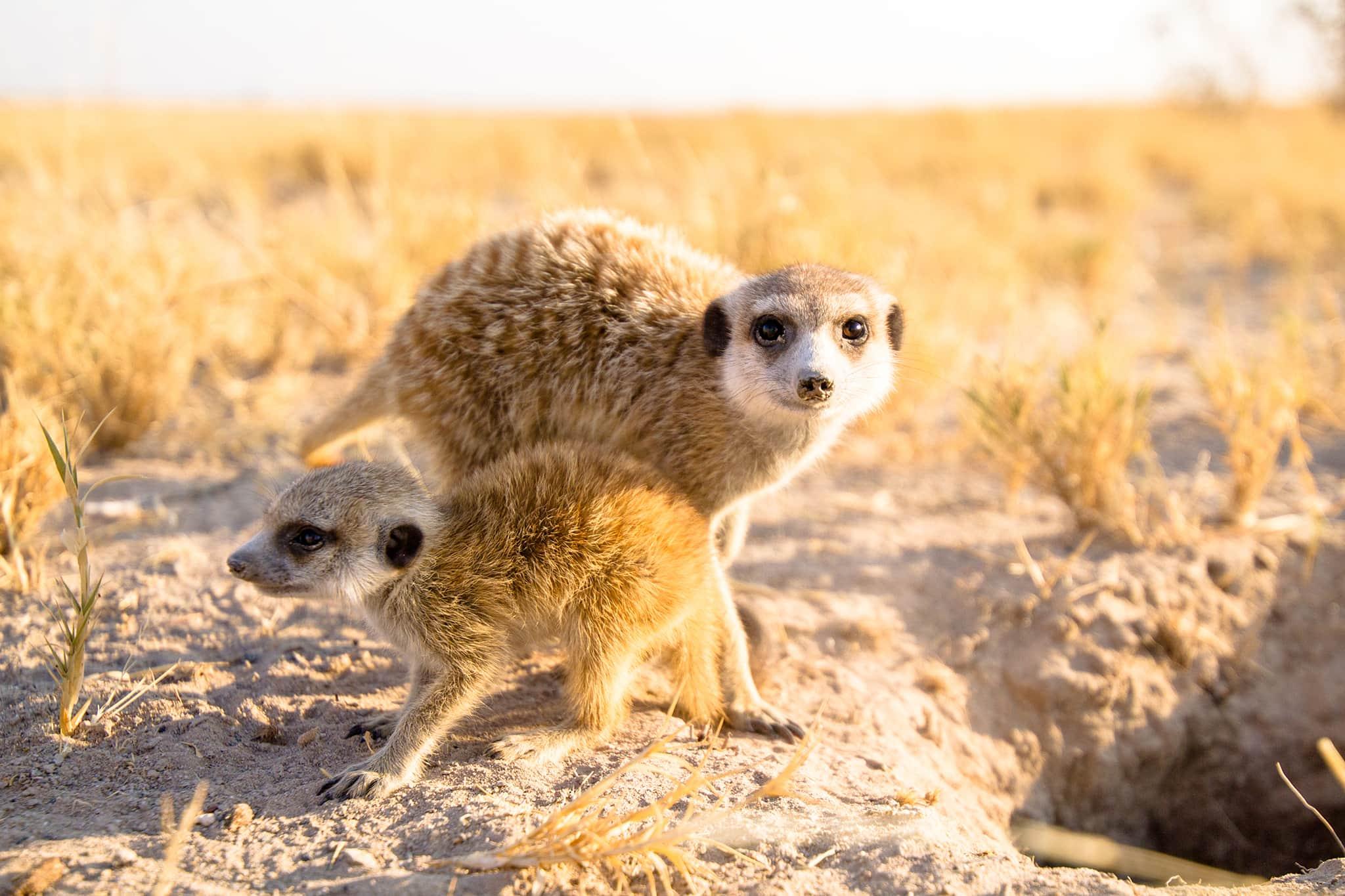 meerkats Jacks Camp Botswana