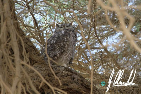 Spotted eagle owl in the Kalahari of Namibia