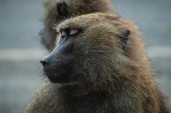 A close up of a baboon