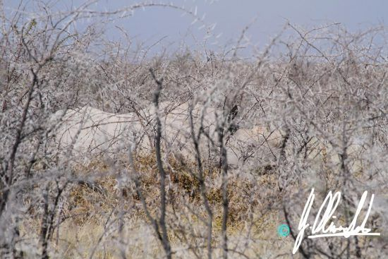 Rhino in the bush of Namibia