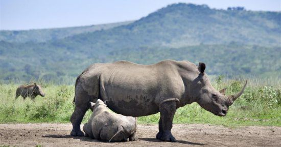 Babynashorn und Mutter im Hluhluwe-Imfolozi Park in der Nähe von Durban