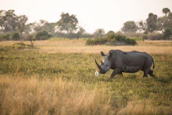 A Rhino at Mombo Camp in the Okavango Delta, Botswana