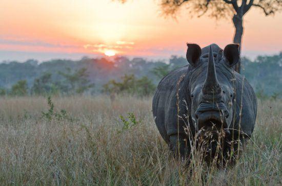 Rinoceronte caminhando ao pôr-do-sol no Sabi Sabi Bush Lodge