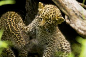 Crías de leopardo jugando