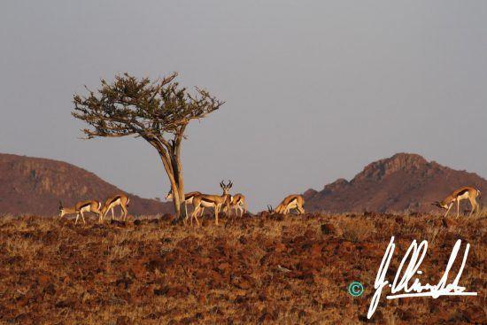 Springbok in Namibia