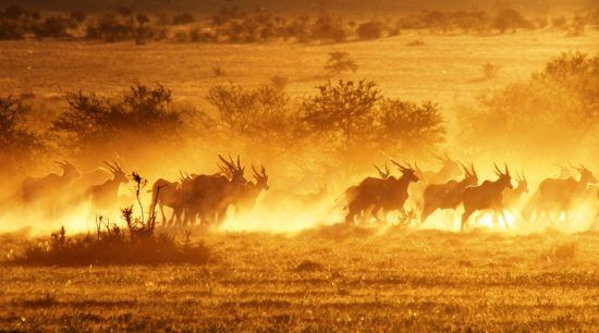 Antelope running in the sunset