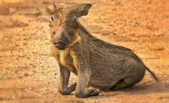 warthog piglet kneeling on front writst