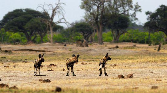 Cães-selvagens-africanos em Hwange, Zimbabwe