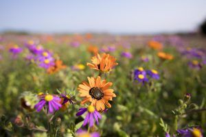 Ein buntes Blumenmeer an Südafrikas Westküste