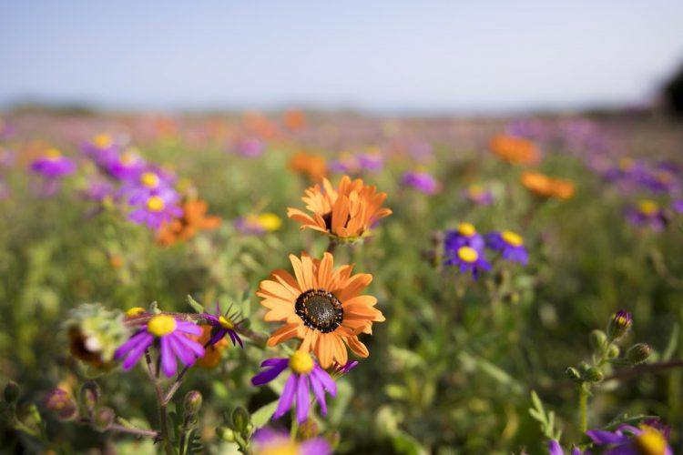 Wild Flowers Westcoast South Africa