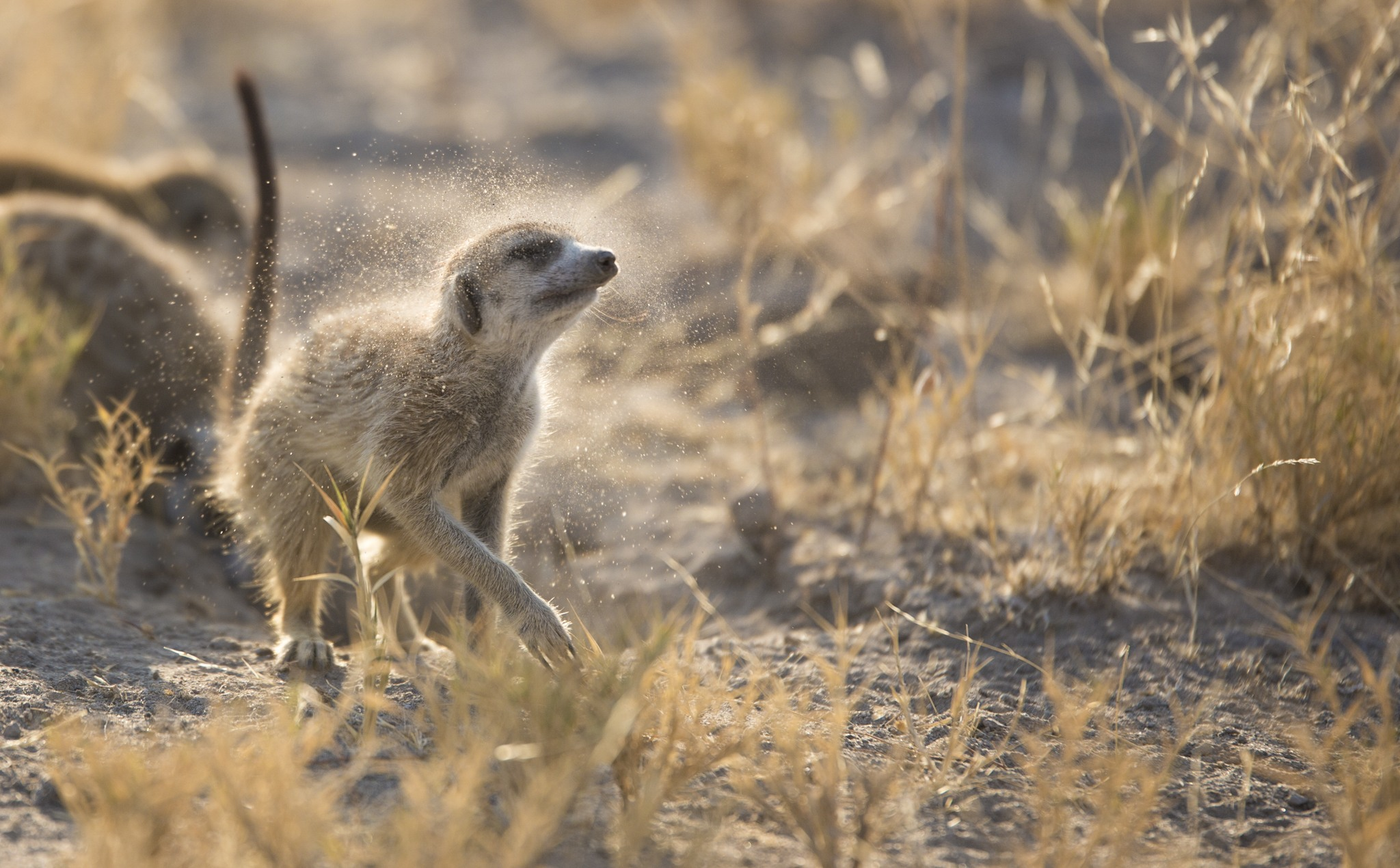 Meerkat having a morning shake in Botswana