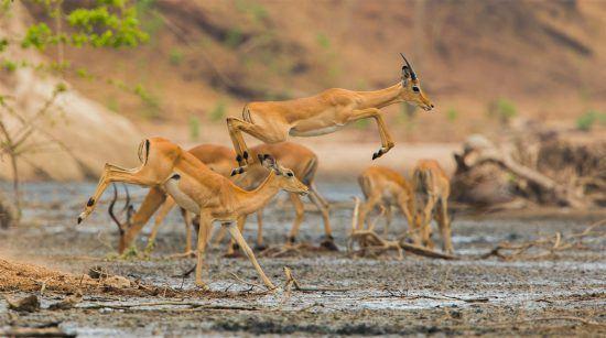 Impala jumping at Mana Pools in Zimbabwe
