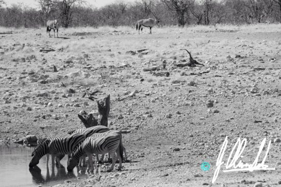 Zebra drinking at a waterhole in Namibia