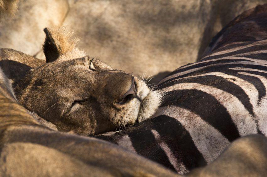 Schlafender Löwe auf Zebra