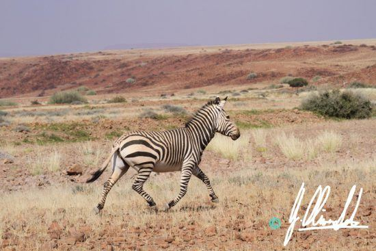 Hartmann's zebra in Namibia