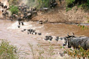 Traversée des rivières par une centaine de gnous lors de la Grande Migration.
