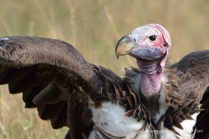Gros plan sur un vautour africain, son cou et son plumage.