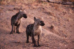 Les bébés de la hyène jouant à l'aube dans la savane Africaine.
