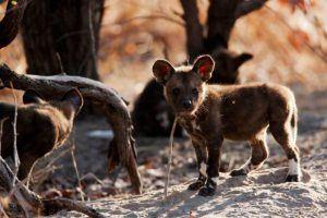 Adorable nouveau né Wild Dog faisant ses premiers pas.
