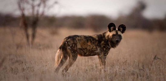An endangered African Wild dog looking at the camera