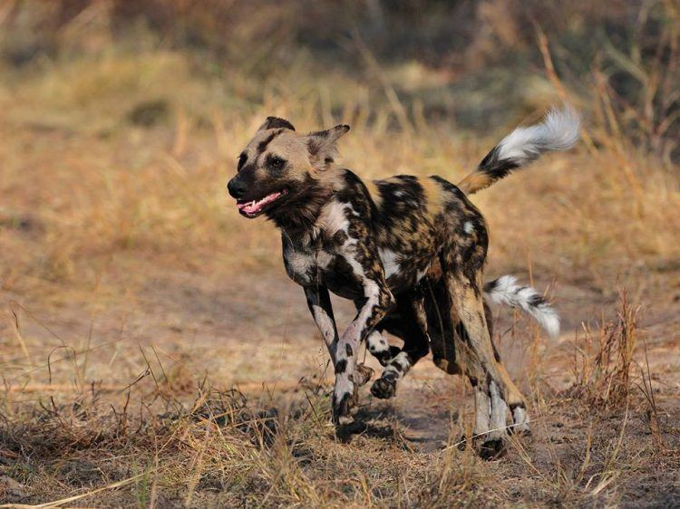 Chien sauvage d'Afrique en action dans la région du Kruger
