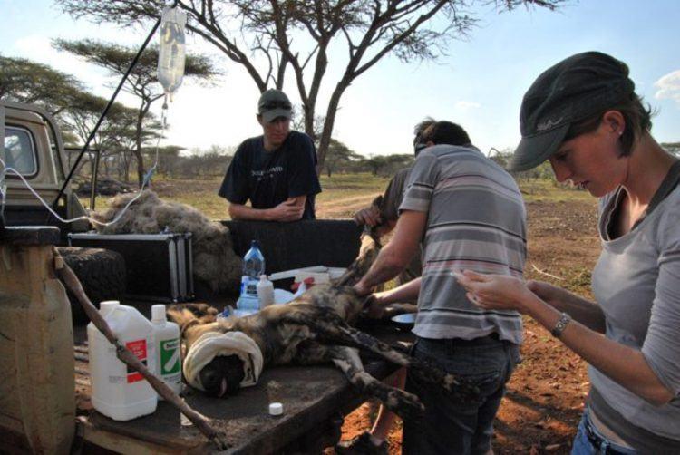 Opération et sauvetage à l'arrière d'un 4x4 d'un chiens sauvage d'Afrique, espèce en voie de disparition