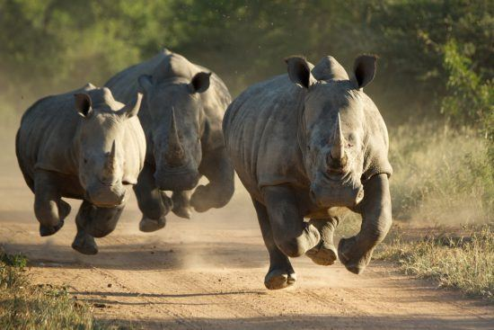Rhinos running towards the camera on a road