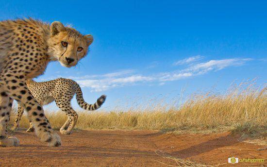 Gepard gucken in die Kamera