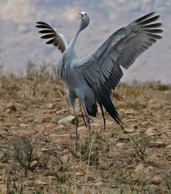 A blue crane lifting its wings